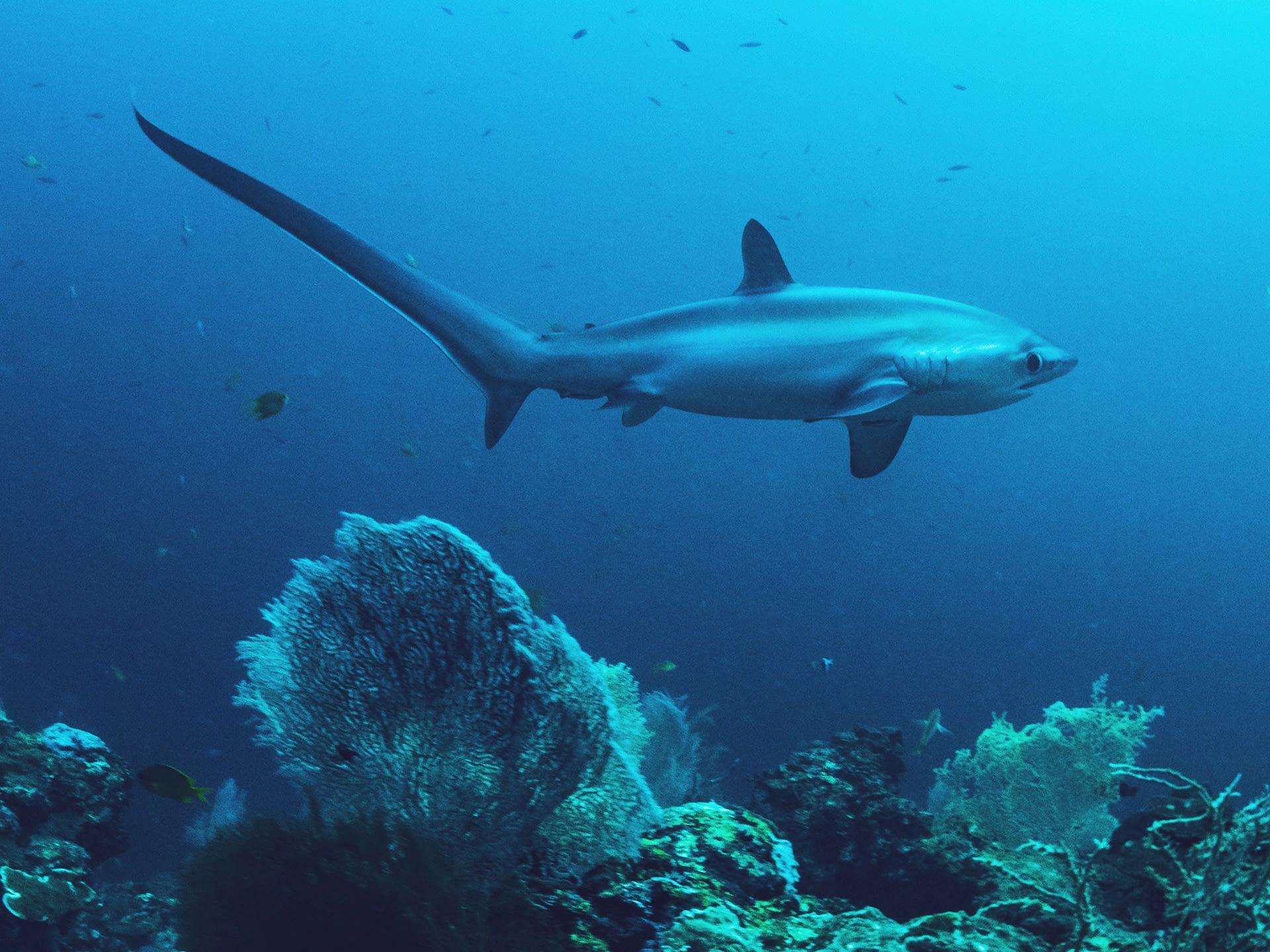 _0017_thresher_shark