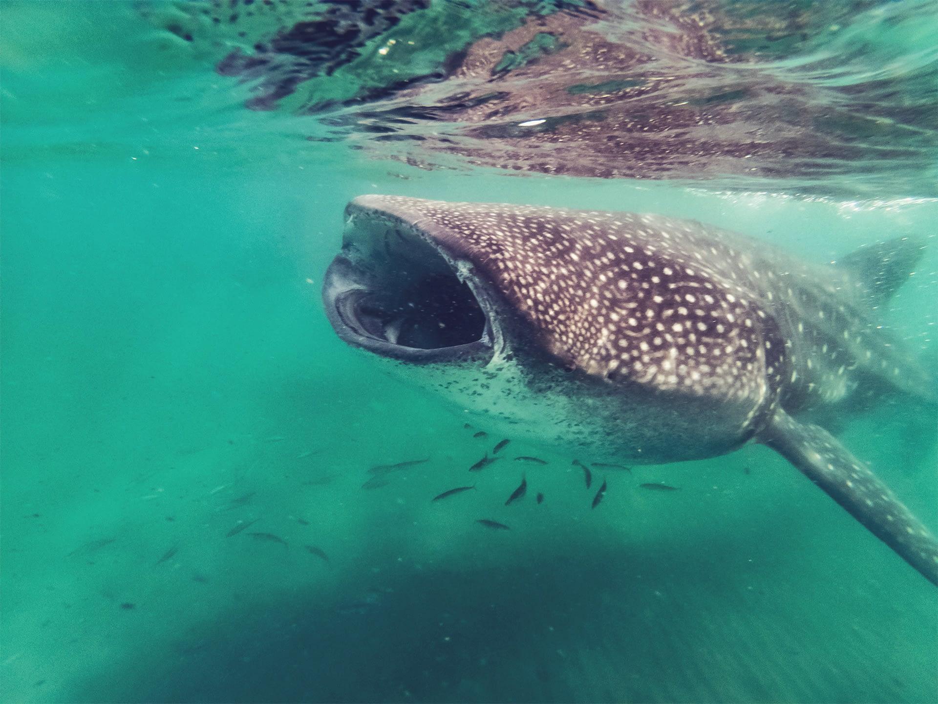 _0030_whale_shark